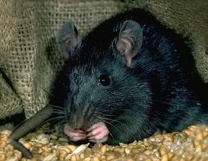 Rat_noir
