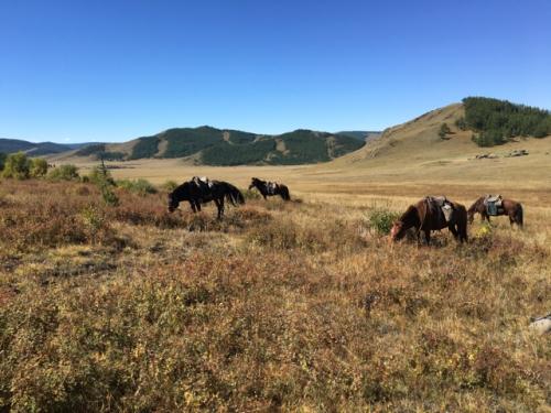 mongolia-horses-grazing